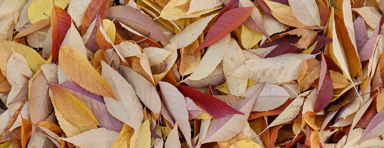 Closeup of fall leaves.